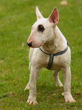 Dog portrait ( Bull terrier ) Stock Photos