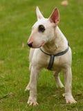 Dog portrait ( Bull terrier ) Stock Photos