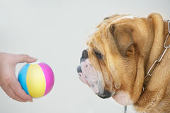 Dog portrait Bulldog Stock Images