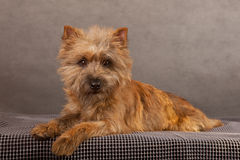 Dog portrait of cairn-terrier. Royalty Free Stock Images