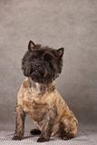 Dog portrait of cairn-terrier dog. Stock Photo