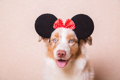 Dog portrait in carnival ears with red bow. Portrait of Australian Shepherd in carnival ears with red bow on her head Royalty Free Stock Photo