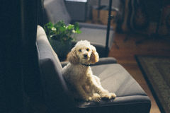 Dog portrait on chair Stock Photo