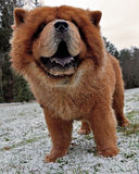 Dog portrait Chow Chow 1 Stock Photography