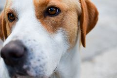 Dog portrait, young white brown hunting dog close up, with beautiful brown eyes stock images