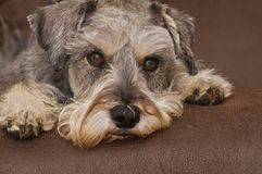 Dog portrait close up with paws. Endearing miniature schnauzer dog laying on a brown surface portrait close up royalty free stock images