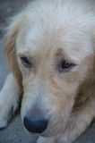 Golden retriever close up Stock Photos