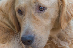 Golden retriever portrait Royalty Free Stock Images