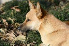 Dog Portrait Closeup Royalty Free Stock Image