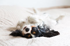 Dog portrait. Cute dog lying on the bed and resting Royalty Free Stock Photo