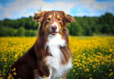 Dog Portrait. / Cute Dog / Dog Model Royalty Free Stock Images