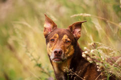 Dog Portrait. / Cute Dog / Dog Model Stock Photo