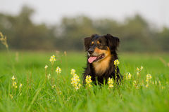 Dog Portrait. / Cute Dog / Dog Model Royalty Free Stock Photography