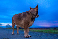 Dog Portrait. A dog enjoys the view at dusk Stock Photography