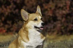 Dog portrait in fall Stock Photo