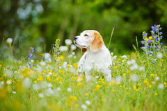 Dog portrait on the field with flowers Royalty Free Stock Image