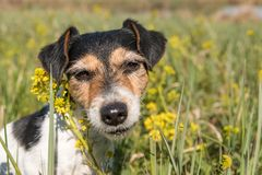 Dog portrait in a flower meadow. Jack Russell Terrier 7 years old is sitting in a blooming meadow royalty free stock photography