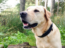 Golden labrador - Dog portrait Stock Photography