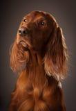 Dog portrait on grey background, in studio, vertical Stock Photos
