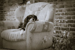 Dog Portrait. A portrait of a homeless dog lying on an old chair Royalty Free Stock Image