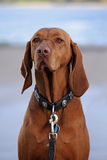 Dog portrait, Hungarian or Magyar Vizsla, selected focus on the Royalty Free Stock Image