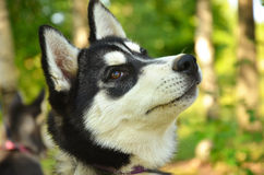 Dog Portrait - Husky. Husky puppy. Portrait of a dog in a forest Stock Photography