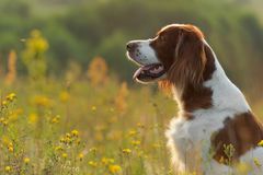 Dog portrait, irish red and white setter on golden sunset backgr. Ound, outdoors Royalty Free Stock Photos