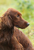 Dog portrait, irish setter on green background, outdoors, vertical stock photography