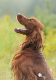 Dog portrait, irish setter on green background, outdoors, vertical stock photo
