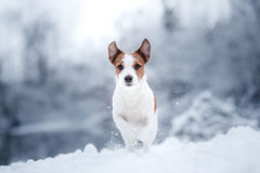 Dog portrait of a Jack Russell terrier on nature in winter snow. Dog portrait of a Jack Russell terrier in outdoor in winter snow Stock Image