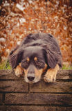 Dog Portrait. A dog lies on a wall and looks sweet Royalty Free Stock Photography