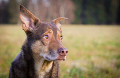 Dog Portrait. A dog looking with a questioning look Royalty Free Stock Photos