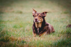 Dog portrait. A dog lying on a meadow Royalty Free Stock Photography