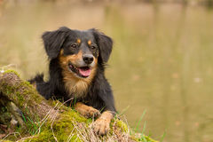 Dog Portrait. A dog lying on a tree trunk Stock Photography