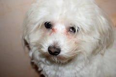 Dog. Portrait of maltese Royalty Free Stock Photography