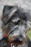 Dog Portrait Royalty Free Stock Photo