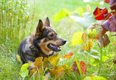 Dog portrait in nature Royalty Free Stock Photography