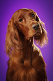 Dog portrait on purple background, in studio, vertical Royalty Free Stock Images