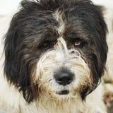 Dog portrait, romanian shepherd Royalty Free Stock Images