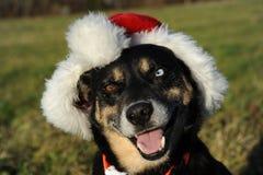 Dog Portrait with santa hat Royalty Free Stock Photo