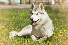 Dog. Portrait of Siberian Husky. Dog on the lawn of dandelions. Royalty Free Stock Images