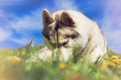 Dog. Portrait of Siberian Husky. Dog on the lawn of dandelions. Royalty Free Stock Photos
