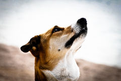 Dog portrait, side view (94) Stock Images
