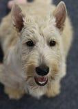 Scottisch Terrier Stock Image