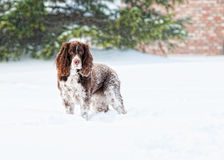 Dog portrait in the snow Stock Photography