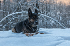 Dog portrait snow winter forest Stock Images