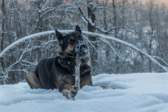 Dog portrait snow winter forest Royalty Free Stock Photo