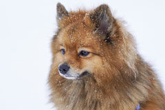 Dog portrait Spitz breed in winter on white background royalty free stock photo