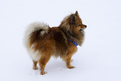 Dog portrait Spitz breed in winter on white background royalty free stock image