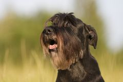 Dog portrait of a standard schnauzer Stock Photo